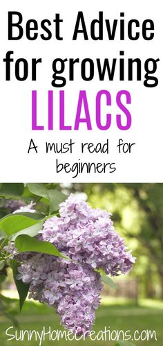 Learn how to plant, grow, and care for lilac bushes in your backyard garden. Lilacs have beautiful flowers that smell wonderful. This planting guide is perfect for beginner gardeners. art design landspacing to plant Lilac Tree, Lilac Flowers, Gardening For Beginners, Gardening Tips, Vegetable Garden, Garden Plants, Lilac Bushes, Outdoor Flowers, Flowering Shrubs