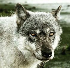 Gran lobo gris.