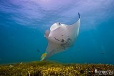 yap micronesia manta ray