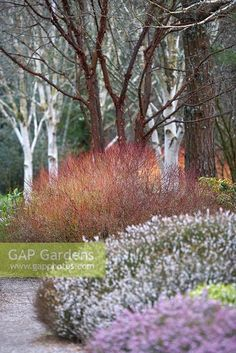 Osmanthus x burkwoodii ideas for garden pinterest for Garden design winter 2018