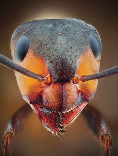 Premier insect photographer John Hallmén shares his secrets for macro bug photography Wood Ants, Popular Photography, Homescreen, Bugs, Cool Photos, Perfume Bottles, Instagram Posts, Photography Magazine, Macros