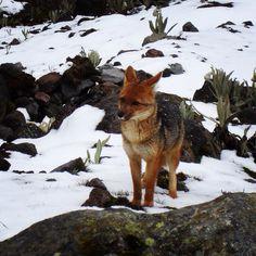 Lobo de Páramo (Reserva Illinizas)