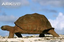 The Aldabra Giant Tortoise is endemic to the islands of Aldabra and the Seychelles in the Indian Ocean where it inhabits a wide variety of vegetation from scrub and mangrove swamp to grassy plains. Red Footed Tortoise, Giant Tortoise, Types Of Turtles, Russian Tortoise, Pet Turtle, Pattern Images, Tortoises, Reptiles, Lizards
