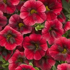 "SUPERBELLS® POMEGRANATE PUNCH (Calibrachoa hybrid):  New for 2014 by  Proven Winners. Luxurious red flowers are offset with a burgundy and gold throat.  10-14"" mounded plant spread  14-18"".  Does well in containers or well drained soil.  Likes full sun.    Plant Information: http://emfl.us/r-Gd; Video Link: http://emfl.us/s-Gd"