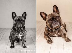 This cool little fellow is Alf. he is a French Bulldog. Cute right! www.fatmonkey.no