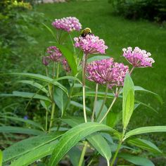 Asclepias incarnata - Swamp milkweed Can be grown in sandy soil. It does not have to have swampy soil. Link will tell you. Full Sun Garden, Swamp Milkweed, Alien Plants, Woodland Plants, Sandy Soil, Native Plants, Habitats, Perennials, Wild Flowers