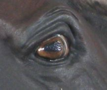 How to paint the perfect model horse eyes!