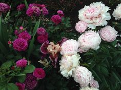 Weeks rose, Ebb Tide with peony, Sarah Bernhart.  You can see here the rose fading already in the heat.