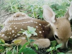 little sweet baby deer