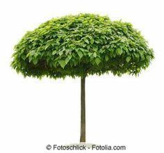elaeagnus ebbingei wintergr ne lweide immergr ne pflanzen pinterest immergr n. Black Bedroom Furniture Sets. Home Design Ideas