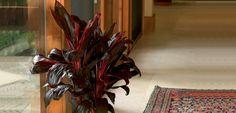 Ti Plant | Costa Farms