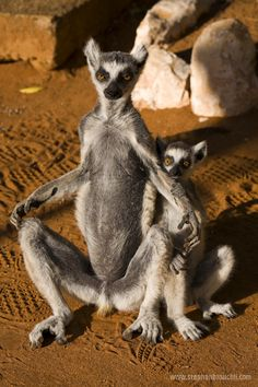 Africa | 'Take us to your leader'.  Ringtailed lemurs.  Madagascar  | © Stephan Brauchli