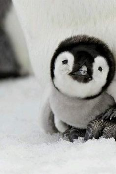 Baby penguins are just way too cute!  #cute #penguin #animals