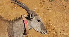 Hoop voor de neushoorns?   Suidafrika weblog Goats, Animals, Animales, Animaux, Animal, Animais, Goat