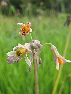 Tulbaghia acutiloba - Wild garlic  Frost: light  Evergreen  Full sun or semi shade