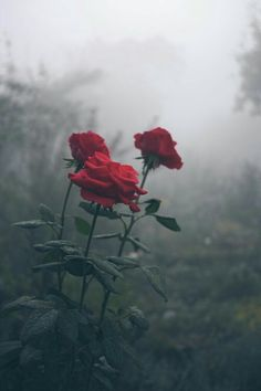 expressions-of-nature: by Kaensu red roses are my favorite. expressions-of-nature: by Kaensu red roses are my favorite. Beautiful Flowers, Beautiful Pictures, Beautiful Life, Belle Photo, Aesthetic Wallpapers, Mists, Nature Photography, Photography Flowers, Grunge Photography