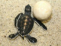 Baby Sea Turtle next to an egg still to hatch