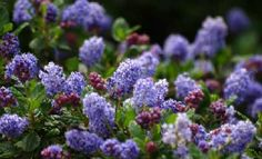 Ceanothus Celestial Blue has both blue and red flowers. This mountain lilac has dark green foliage