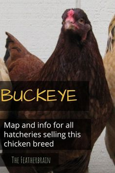 Check out this map that shows nearly all Buckeye breeders in the U.S., and breaks them up by the variety sold! You'll also see what the varieties look like (with videos of hens, roosters, and chicks). Find the perfect backyard breed for you! Buckeye Chicken, Chicken Facts, Types Of Chickens, Chicken Breeds, Backyard Chickens, Chicken Eggs, Roosters, Hens, How To Know