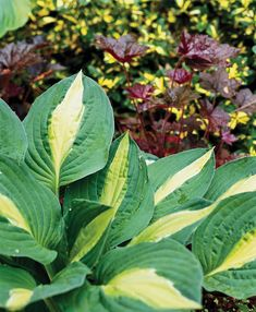 'Striptease' hosta Hosta 'Striptease' features golden leaves with wide green edges. A thin white sliver separates the green and yellow colors. It grows 20 inches tall and 36 inches wide. Hosta Plants, Foliage Plants, Light Purple Flowers, Lavender Flowers, Plantain Lily, Hosta Varieties, Shade Garden Plants, Gardens, Container Plants