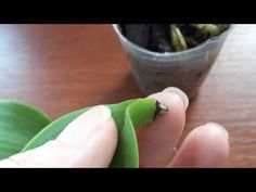 Может ли лист орхидеи дать корни. - YouTube
