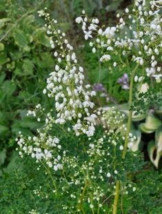 Thalictrum delavayii album Flower attributes Colour: White Flowers: June, July, and August Position Soil: Well-drained Planting position: Part shade/Full Shade Height x spread: 120cm x 90cm