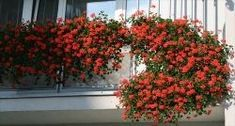 Rada k pěstování muškátů - drožďová zálivka - Rostliny na balkoně, terase - ZAHRADA A ROSTLINY Edible Garden, Hanging Baskets, Clever Diy, Potted Plants, Container Gardening, Garden Landscaping, Orchids, Art Projects, Backyard