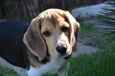 BEAGLE CANIL PEDRA DE GUARATIBA (Desde 1990) AMORA - Nascimento: 16/12/14. Proprietário: José Luiz. FILHOTES DISPONÍVEIS! #canilpedradeguaratiba #beaglecanilpedradeguaratiba #beagle