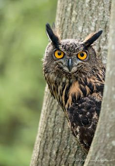 Eurasian Eagle Owl by Paul Smith on 500px