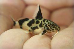 # - Item - Synodontis Multipunctatus Catfish fish in. - Ends: Fri Jan 22 2016 - AM CDT Aquarium Set, Tropical Fish Aquarium, Aquarium Design, Tropical Freshwater Fish, Freshwater Aquarium Fish, Small Catfish, Cory Catfish, Aquarium Catfish, Cool Fish