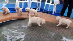 Eight English Cream Golden Retriever Puppies - first swim & jump! Rummy's Beach Club In Spring, Texas Offers PRIVATE Swimming For you & your dog. See more of our videos here:: https://www.youtube.com/channel/UCb1o... These puppies are English Cream Golden Retrievers from Enchanted Retrievers owned by Tiffany Emig in Texas.