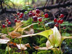 Oravanmarja, Maianthemum bifolium - Kukkakasvit - LuontoPortti
