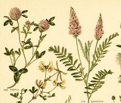 1906 Plantes fourragères gravure ancienne original couleur vintage déco collection édition française Leclerc du Sablon de la boutique sofrenchvintage sur Etsy