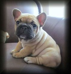 French bull puppy ♡ I am getting this when I move out....Maybe before I buy a bed!!