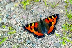 Nokkosperhonen Finland, Moth, Insects, Scenery, Butterfly, Nature, Animals, Life, Butterflies