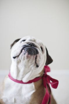 Bulldog wishes us a happy valentine's day Cute Puppies, Cute Dogs, Bulldog Puppies, Valentines Day Dog, Valentine Photos, Sweet Dogs, Bulldogs Ingles, Bully Dog, Pet Portraits