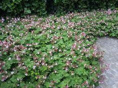 Geranium macrorrhizum 'Ingwersen's Variety' in flower