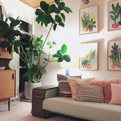 Ficus Elastica goals