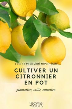 Citronnier en pot Find out everything you need to know to grow a lemon tree in pots: choice of varie
