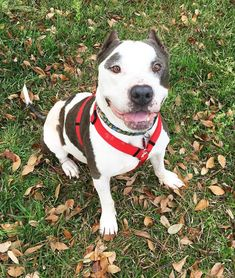 Adopt Silas on Petfinder Dog for adoption – Silas, a Staffordshire Bull Terrier & Pit Bull Terrier Mix in Saucier Chihuahua Dogs, Pet Dogs, Pets, Terrier Mix Dogs, Pitbull Terrier, Shelter Dogs, Animal Shelter, Pet Finder, Dog Pee