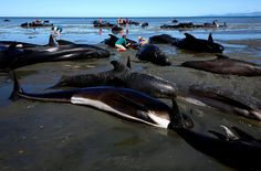 Hundreds of dead whales washed up on a New Zealand beach have been cordoned off from the public because they are at risk of exploding as they decompose.  Workers in protective clothing are cutting holes in the 300 carcasses that remain washed up on Golden Bay at the tip of the South Island after one