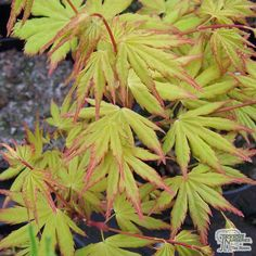 Jackson's Nurseries guide to Japanese maple trees covering their origin, different types of Japanese maple trees, best growing conditions and recommended varieties. How To Grow Taller, Plants, Maple Tree, Small Gardens, Types Of Soil, Deciduous Trees, Garden Center, Small Trees, Japanese Maple Tree