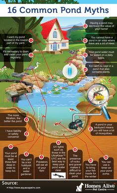 16 Common Pond Myths (infographic) - My Backyard Now Outdoor Ponds, Backyard Ponds, Koi Ponds, Garden Ponds, Koi Fish Pond, Pond Landscaping, Koi Fish Care, Waterfall Landscaping, Outdoor Fountains