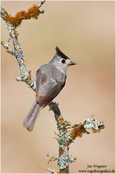 With 389 identified in this years bird count the number of tufted with 389 identified in this years bird count the number of tufted titmice doubled in central park since last year just birds all different sciox Images