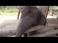 Baby Elephant Tries to Wake up a Sleepy Dog [OFFICIAL] - YouTube Elephant Gif, Cute Baby Elephant, Asian Elephant, Elephant Videos, Elephant Walk, Baby Animals, Cute Animals, Sleepy Dogs, Pet Birds