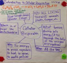 Mrs. Paul - Biology: Cellular Respiration GLAD Anchor Chart Notes