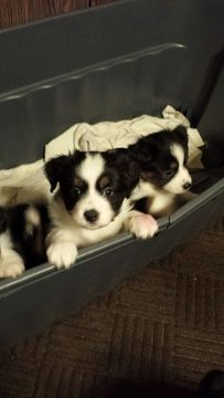 Litter Of 4 Australian Shepherd Puppies For Sale In Oxford