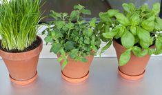 Szczypiorek, koperek, szałwia - zioła w przydomowym ogródku albo pop prostu w doniczce na parapecie to doskonały sposób na poprawienie kondycji organizmu i wzbogacenie go w witaminy i minerały. Ale nie