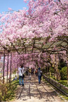 I giapponesi osservano i fiori della primavera, come una parte dell'Hanami, l'apprezzamento della bellezza transitoria, ma non c'è bisogno di un profondo s