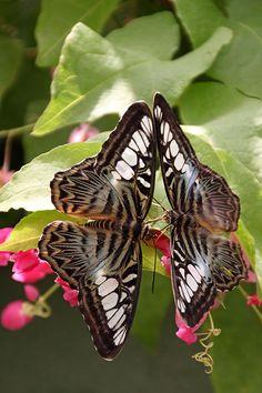 Blue Clipper Butterflies